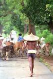 herding-cattle.jpg