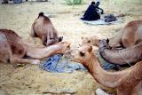 camels-eating.jpg