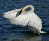 Trumpeter Swans at Magness Lake