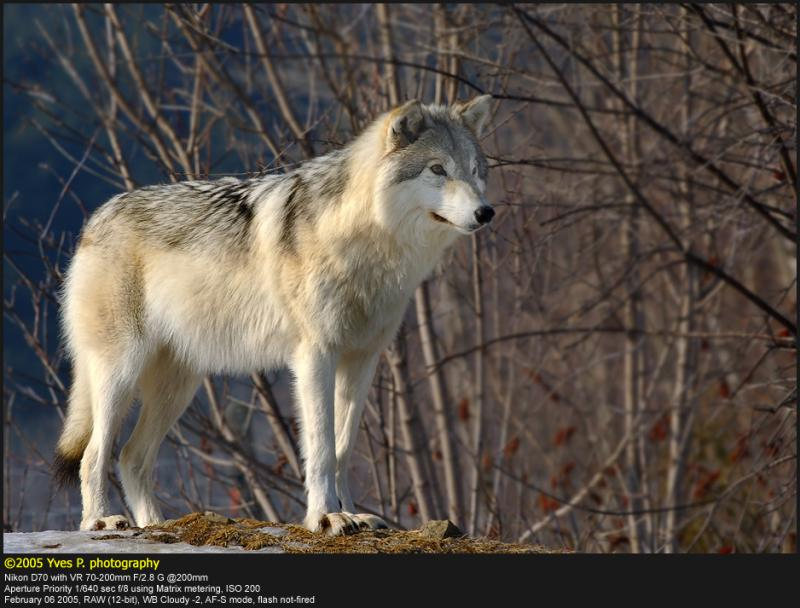 More Wolf ...