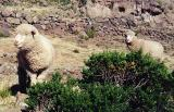 Sillustani sheep again