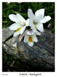 Freesia blossoming in the yard