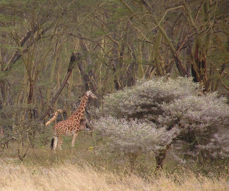 Rothchild Giraffe