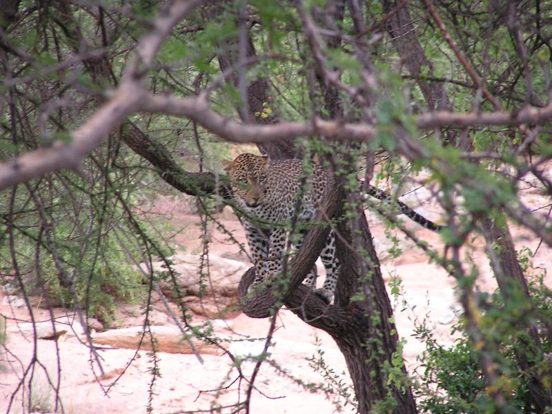 Leopard hiding out of reach of the hyena