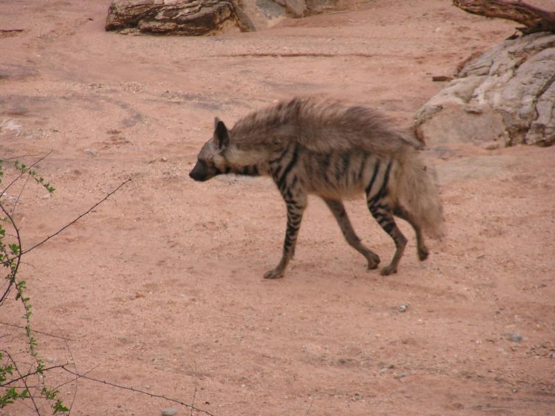 The striped hyena turns heads off empty handed