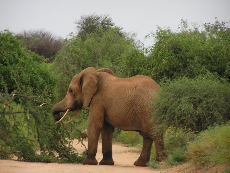 Male elephants are very destructive.JPG