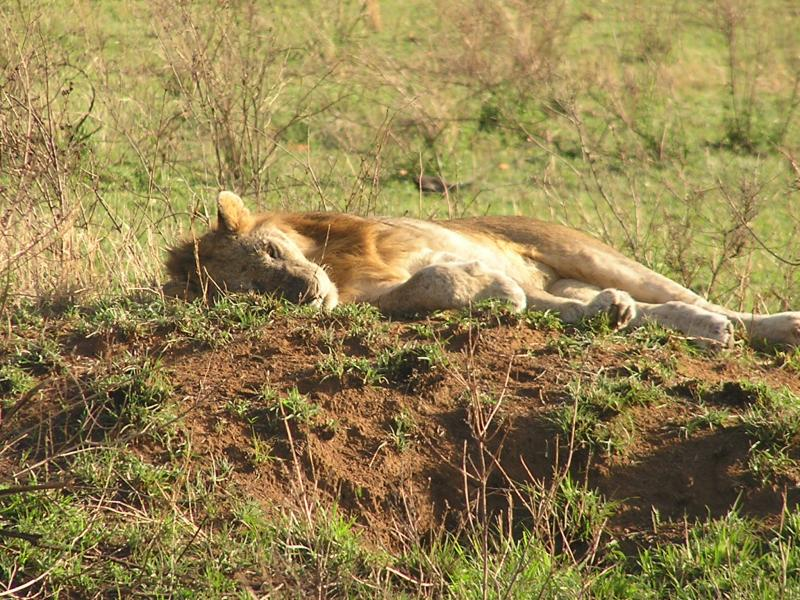 male lion racked out
