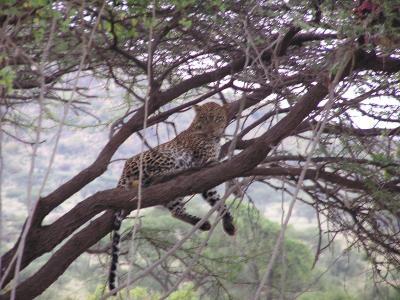 Mr. Leopard sleeping off his dinner