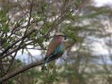 The lilac brested roller