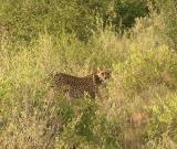 cheetah mom takes one last lot back b4 bolting