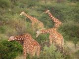 Giraffe - Samburu