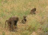 Monkeys - Samburu