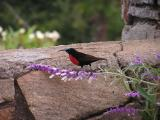 This maybe a sunbird according to Einar of Norway
