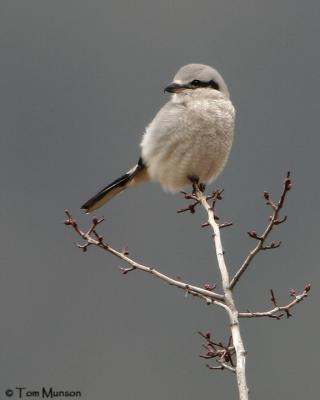 Northern Shrike (juv)