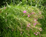 Hairy Willow-herb -- Epilobium hirsutum