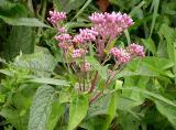 Joe-pye-weed -- Eupatorium maculata