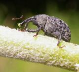 Milkweed weevil -- Rhyssomatus lineaticollis (?)