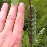 Hyalophora cecropia caterpillar -- size