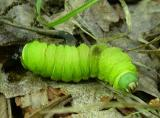 Luna  (Actias luna)  caterpillar -- parasitized & found dying in forest