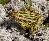 Northern Leopard frog on Reindeer lichen