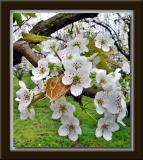 Korean Pear Blossoms