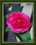 Roses Are Red.... er, Camelias Are Red! =)