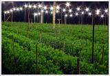Chrysanthemum Field