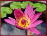 Nakamurake Lotus Blossom