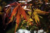 Nancy's Japanese Maple.jpg