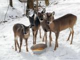 WV Whitetail Deer ~ May, 2002 thru August, 2003