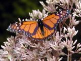 Monarch Butterflies ~ WV - 2003