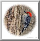 Red Bellied Woodpecker ~ Dec, 2003