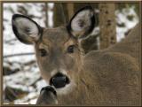 WV Whitetail Deer ~  1st Qtr 2004
