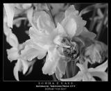 Daffodil in B/W ~ 2003