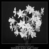 Daffodil Bouquet in B/W ~ 2003