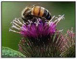 Bee on Thistle  Jul, 2004