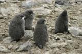 Adelie Penguin Chick Creche 0231