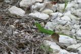 Little Green Lizzard