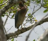 Green Heron - sticking out his tongue