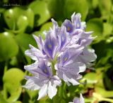 Water Hyacinth (Eichhornia crassipes )