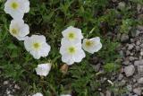 Showy Evening Primrose (Oenothera speciosa)