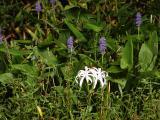Pickerelweed (Pontederia cordata ) and Spider Lillies
