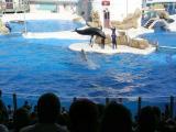 False Killer Whale Show