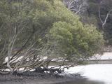 Mangroves, low tide