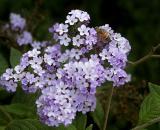 Bee in Faith's garden