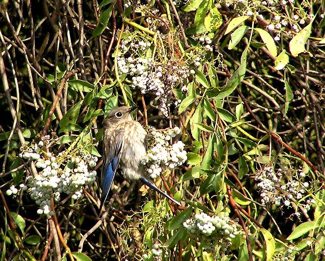bluebird and berries.jpg