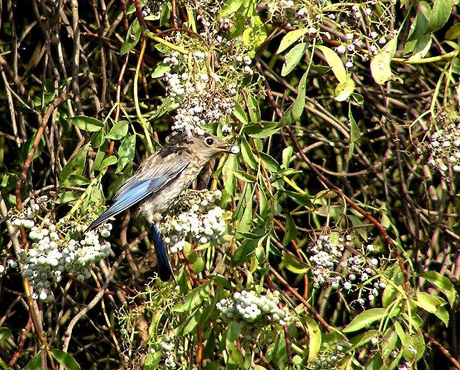 bluebird and berries 2.jpg