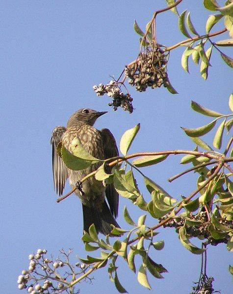 bluebird and berries 3.jpg