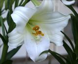 Lilium longiflorum 2