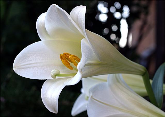 White America - Lily